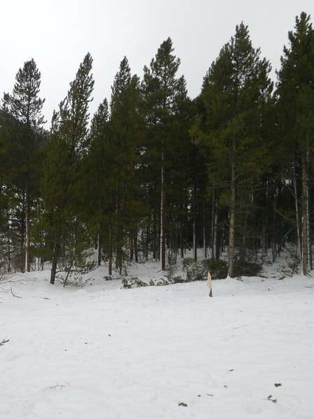 <b>Figure 21:</b> Damage from the air blast created by the avalanche in Star Mountain A. Notice the height of the snow on the tree. (<a href=javascript:void(0); onClick=win=window.open('https://caic-production.imgix.net/3wufe1so1dasayzlspmxppzgx1nc?ixlib=php-3.1.0&s=7b53eb860eed77d971c98c82de8383d5','caic_media','resizable=1,height=820,width=840,scrollbars=yes');win.focus();return false;>see full sized image</a>)