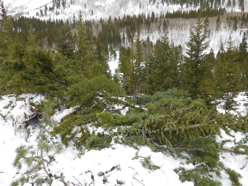 <b>Figure 19:</b> Trees damaged in the avalanche. (<a href=javascript:void(0); onClick=win=window.open('https://caic-production.imgix.net/eaak1jky7co5zo42hllkyqollauv?ixlib=php-3.1.0&s=ac4b3a3f70be54f40d6651f2357a51be','caic_media','resizable=1,height=820,width=840,scrollbars=yes');win.focus();return false;>see full sized image</a>)