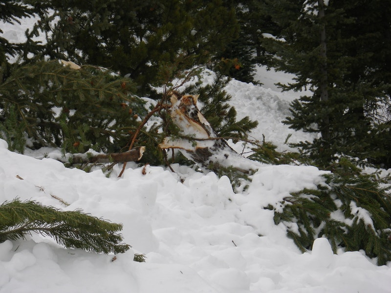 <b>Figure 17:</b> Trees damaged in the avalanche. (<a href=javascript:void(0); onClick=win=window.open('https://caic-production.imgix.net/ty90pxt1y4o4q339ewuhn1k2frsk?ixlib=php-3.1.0&s=fb7f24077746e82c758d35b82e2335f4','caic_media','resizable=1,height=820,width=840,scrollbars=yes');win.focus();return false;>see full sized image</a>)
