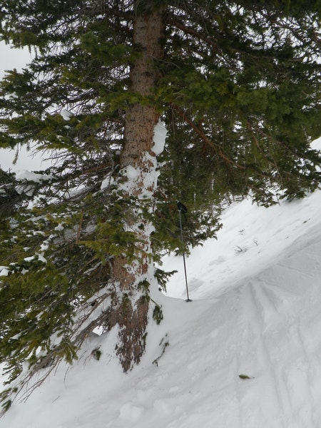 <b>Figure 14:</b> Avalanche debris on a tree in the lower portion of the start zone, near where Riders 2 and 4 were buried. (<a href=javascript:void(0); onClick=win=window.open('https://caic-production.imgix.net/z8y1wwmj7za03oewq6en5u0p8bs8?ixlib=php-3.1.0&s=1dd1646569f7a0674140cd1f51079473','caic_media','resizable=1,height=820,width=840,scrollbars=yes');win.focus();return false;>see full sized image</a>)